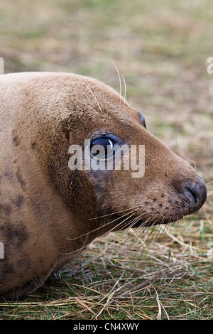 Grey Seal - Halichoerus grypus, Donna Nook, UK - Stock Photo
