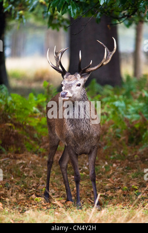 Red Deer in forest in Richmond Park, UK - Stock Photo