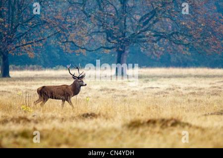 Red Deer - Cervus Elaphus - stag portrait in Richmond Park, UK - Stock Photo