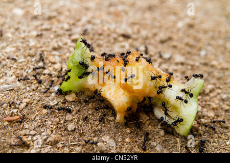 A group of black ants eating an apple core - Stock Photo