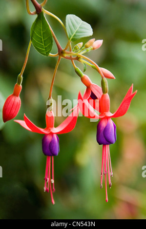 Vertical close up of the pretty flowers from the Fuchsia, Baby Blue Eyes. - Stock Photo