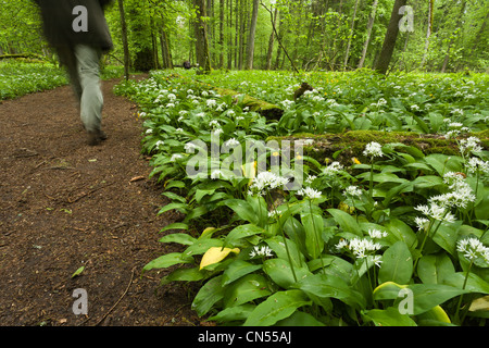 Poland, Podlaskie, Bialowieza forest, listed as World Heritage by UNESCO and biosphere reserve, sward of ramsons - Stock Photo