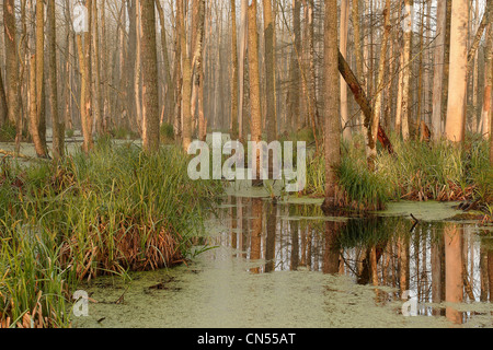 Poland, Podlaskie, Bialowieza forest, listed as World Heritage by UNESCO and biosphere reserve, wetland from the - Stock Photo