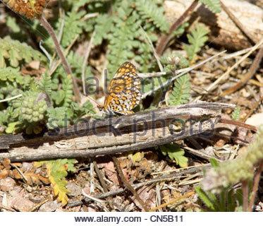 Sagebrush Checkerspot Chlosyne acastus Butterfly Arizona - Stock Photo