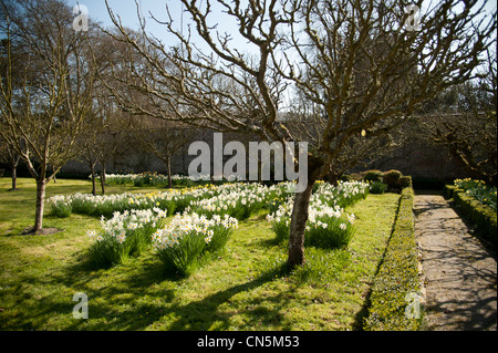 Daffodils blooming in the walled garden of the National Trust, Llanerchaeron, Ceredigion, Wales UK - Stock Photo
