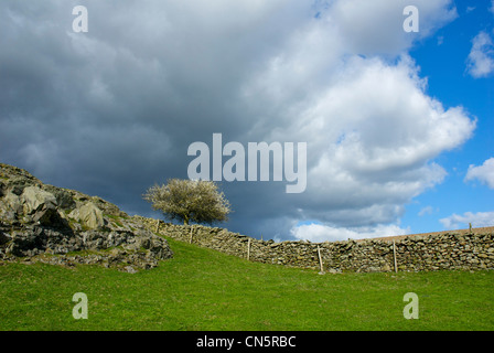 Hawthorn tree coming into blossom, near Ulverston, Cumbria, England UK - Stock Photo