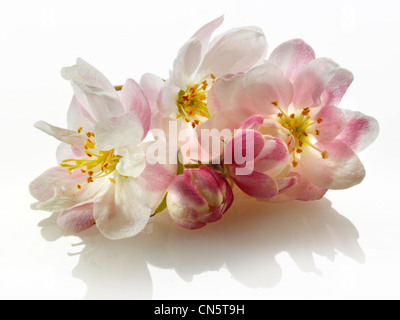 apple blossom flowers against a white background for cut out - Stock Photo
