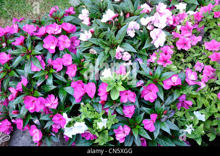New Guinea Busy Lizzy Garden Summer nature - Stock Photo