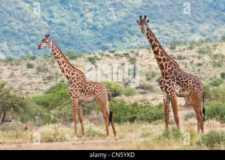 Tanzania, Arusha region, Rift Valley, meets on the trail of Natron lake, giraffe - Stock Photo