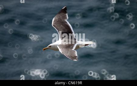 Lesser Black Backed Gull flying over the sea - Stock Photo