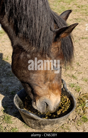Portrait of a Welsh Cob eating from a feed bucket - Stock Photo