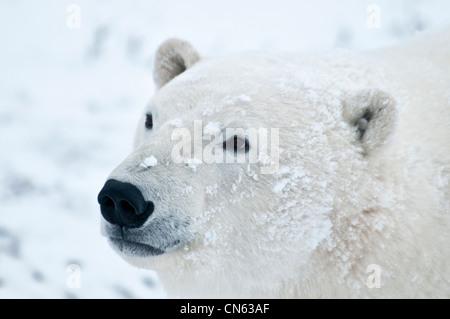 Polar Bear, Ursus maritimus, Wapusk National Park, near Hudson Bay, Cape Churchill, Manitoba, Canada - Stock Photo