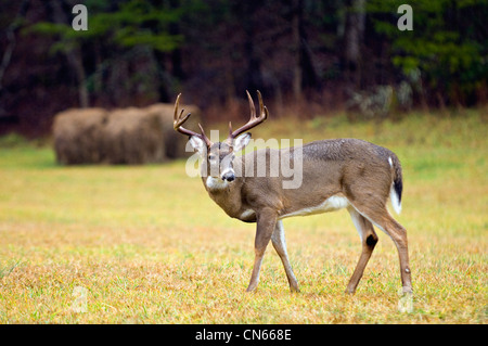White-tailed Deer Buck in Cades Cove in the Great Smokey Mountains National Park in Tennessee - Stock Photo