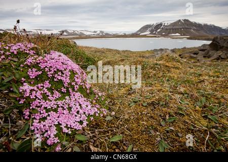 Norway Svalbard Edgeoya Island Moss Campion flowers (Silene acaulis) blossom in tundra along Habenichtbukta Bay - Stock Photo