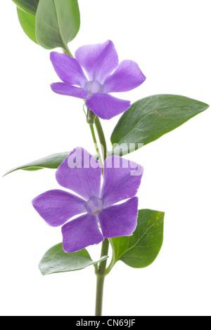 Vinca major, Bigleaf Periwinkle, Large Periwinkle, Greater Periwinkle or Blue Periwinkle. - Stock Photo