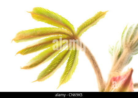 New shoot of Aesculus hippocastanum commonly known as Horse-chestnut or Conker tree. - Stock Photo