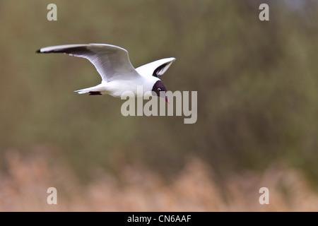 Black-headed Gull.Larus ridibundus (Laridae) in flight - Stock Photo