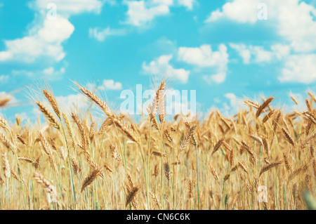 Cornfield and blue sky in summer - Stock Photo