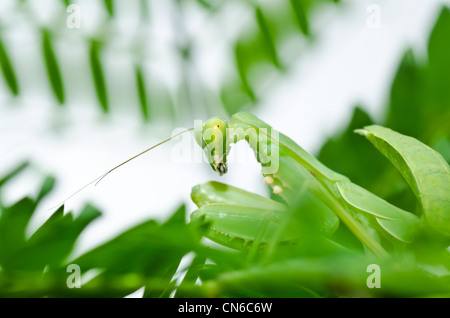 mantis in green nature or in garden - Stock Photo