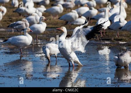 Snow Goose, migratory bird close up shot - Stock Photo
