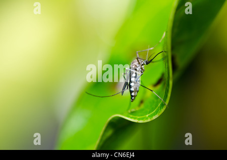 mosquito in nature or in the city - Stock Photo