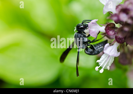 black wasp in green nature or in garden. It's danger. - Stock Photo