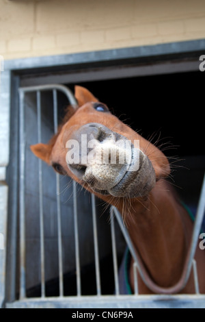 Animal humour smiling Horse facial Expressions at Middleham Open Stables Day, Good Friday 2012 on the 6th April - Stock Photo