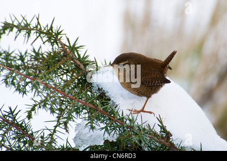 A wren (Troglodytes troglodytes) perched on a snow-covered gorse bush at Crossness Nature Reserve, Bexley, Kent. - Stock Photo