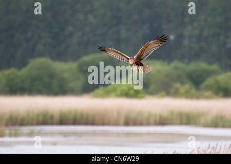 A marsh harrier (Circus aeruginosus) hunting over the reedbeds at RSPB Minsmere, Suffolk. May. - Stock Photo