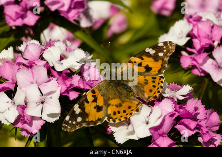 A painted lady butterfly (Cynthia cardui) nectaring on garden flowers at Strumpshaw Fen, Norfolk. June. - Stock Photo