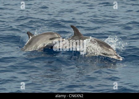 Atlantic Spotted Dolphins, Stenella frontalis, porpoising. Azores, Atlantic Ocean. - Stock Photo