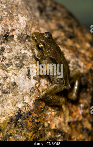 A common frog (Rana temporaria) juvenile making its first foray out of the water. Belvedere, Kent. June. - Stock Photo