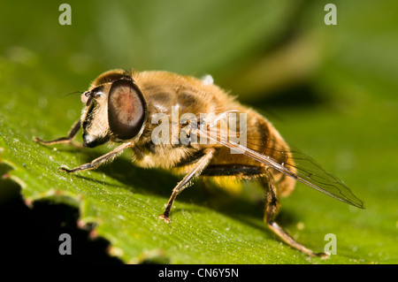 A drone-fly (Eristalis tenax) on a leaf at Crossness Nature Reserve, Bexley, Kent. June. - Stock Photo