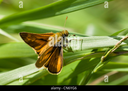 An adult male large skipper butterfly (Ochlodes sylvanus) perched on reeds at Crossness Nature Reserve, Bexley, - Stock Photo