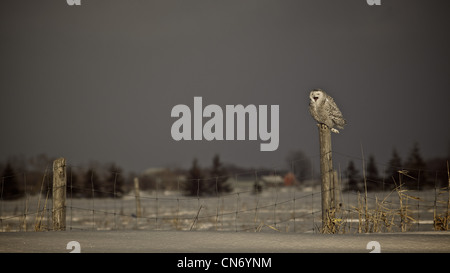 A Snowy perched on a farmers fence as a storm rolls in - Stock Photo