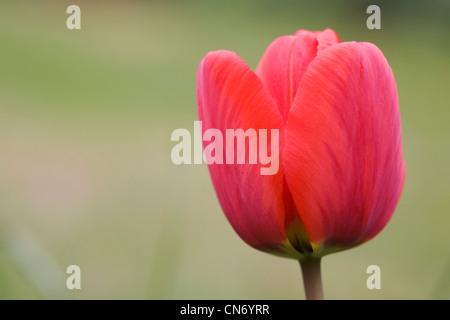Tulipa in the garden. Red Tulip flower. - Stock Photo