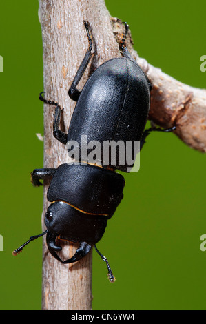 A lesser stag beetle climbing down a twig in a garden in Belvedere, Kent. - Stock Photo