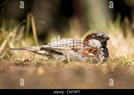 An adult male house sparrow (Passer domesticus) dust-bathing at Elmley Marshes National Nature Reserve, Kent. July. - Stock Photo
