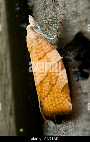 A chequered fruit-tree tortrix moth (Pandemis corylana) on a fence in a garden in Belvedere, Kent. August. - Stock Photo