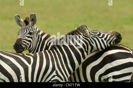 Burchell's zebras standing in plains with one's head on other's back - Stock Photo