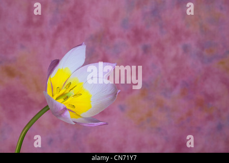 Pink and bright yellow tulip in full bloom against a magenta background. - Stock Photo