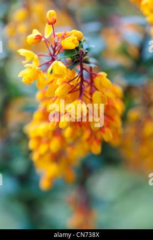 Berberis Darwinii. Darwin's barberry flowers in april. UK - Stock Photo