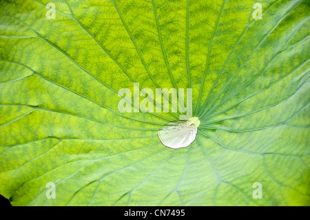 Droplet in a green lotus leaf flower - Stock Photo