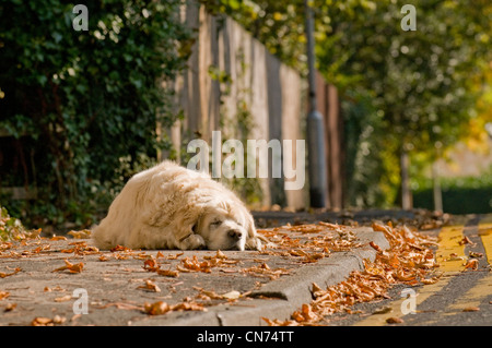 Sleepy tired relaxed adult golden retriever (cute fluffy pet dog) lying on pavement, fast asleep, snoozing in autumn - Stock Photo