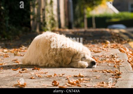 A golden retriever lying across the pavement, fast asleep. - Stock Photo
