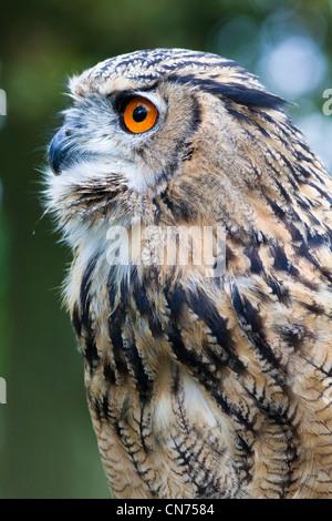 Eurasian Eagle Owl - Bubo bubo - Stock Photo