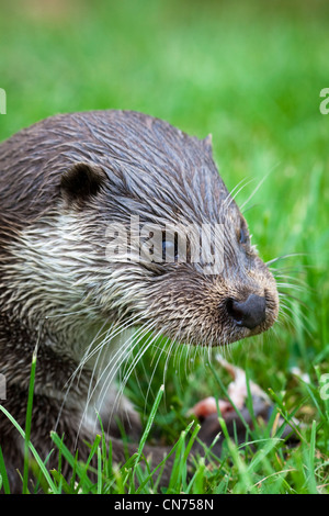 Eurasian Otter - Lutra lutra - feeding on fish, UK - Stock Photo