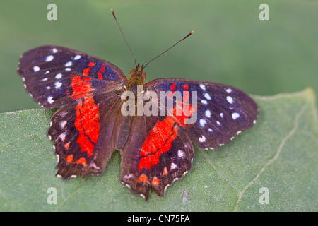 An adult Scarlet Peacock butterfly - Stock Photo