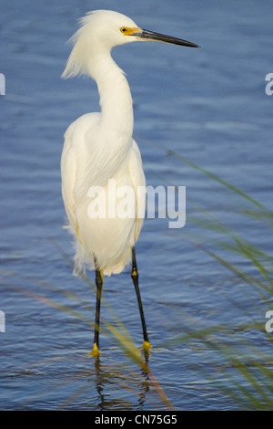 Snowy Egret heron - Egretta thula - Stock Photo