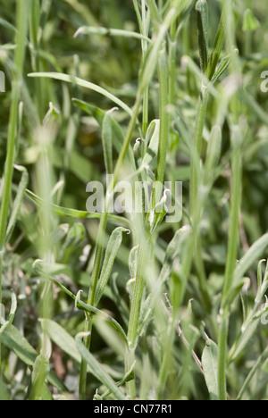 Macro, micro, close up photo, photograph of lavender plant. - Stock Photo